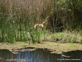 Perros dentro del humedal Tibanica