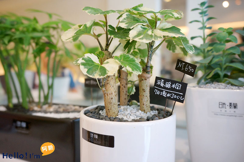 台南盆栽,日光夏蘭植物工房-4