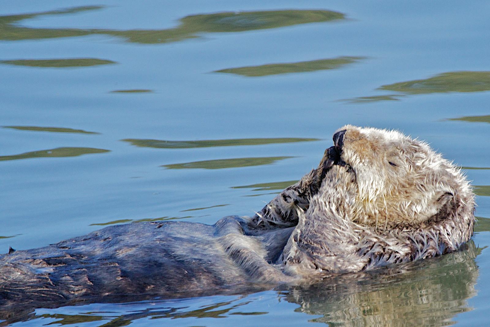 Voyagers: Moss Landing 看海瀨 (Sea Otter) 與賞鳥