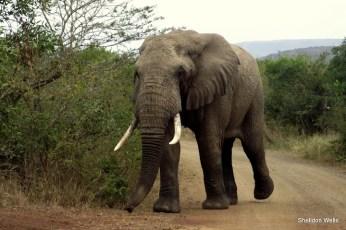 Bull Elephant walking down the road