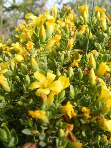 שפע אדיר של פרחים צהובים ננסיים - פרע מצרי