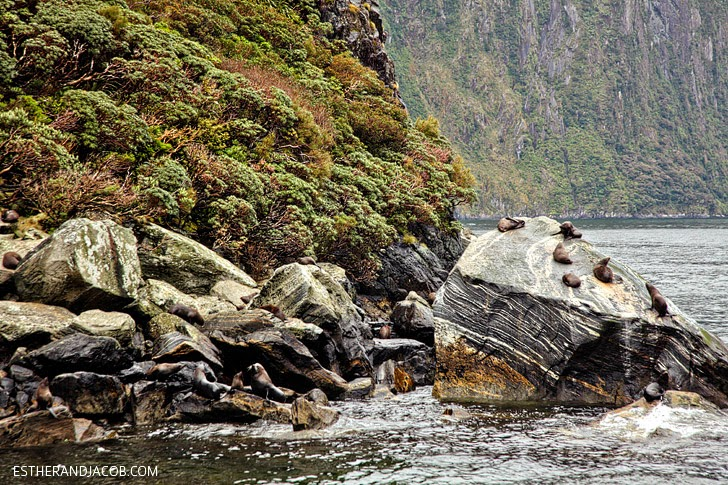 Sea Lions at Milford Sound New Zealand   Day 5 New Zealand Sweet as South Contiki Tour   A Guide to South Island