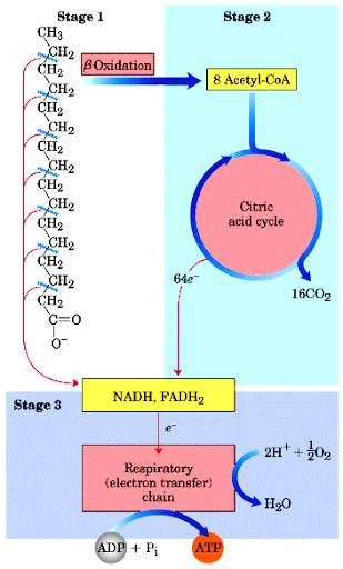 脂肪酸氧化(Fatty acid oxidation) - 小小整理網站 Smallcollation