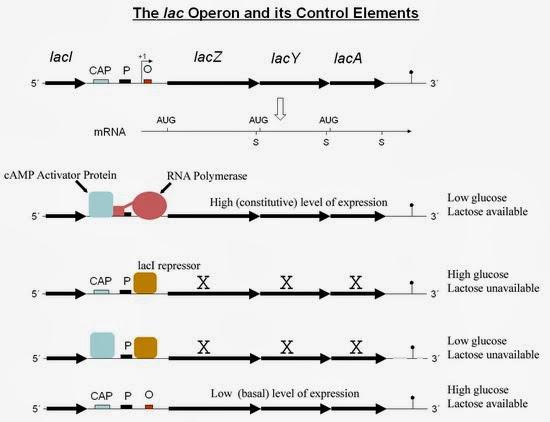 乳糖操縱組(lactose operon) - 小小整理網站 Smallcollation