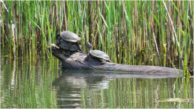 More turtles :)