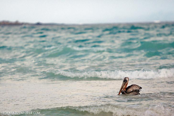 Brown Pelican - Galapagos Birds.