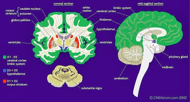 紋狀體(corpus striatum) - 小小整理網站 Smallcollation