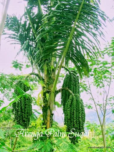 prospek emas pohon aren - hitungan bisnis kebun aren