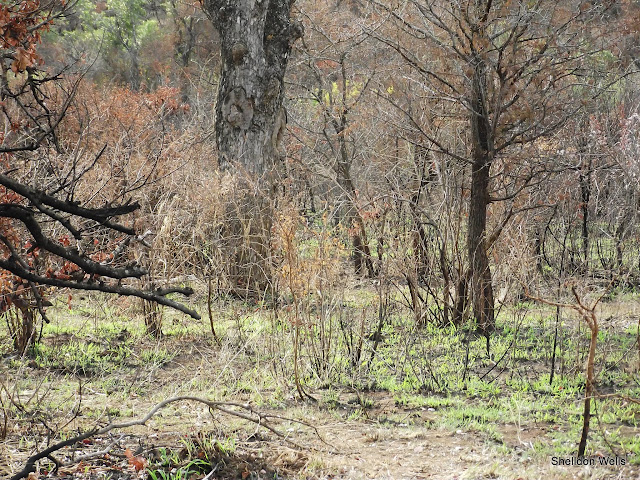 Recently Burnt Bush at Hluhluwe Imfolozi Game Reserve