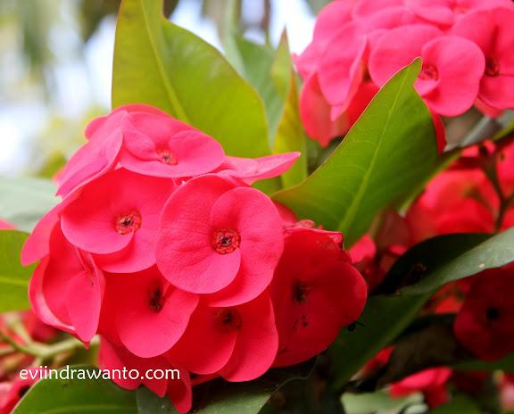 antara bunga dan cinta