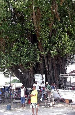 Mkuyu, l'albero sacro di Stone Town - Ricordate di scattarvi una foto con i nostri cedri per Santa Appollonia!!