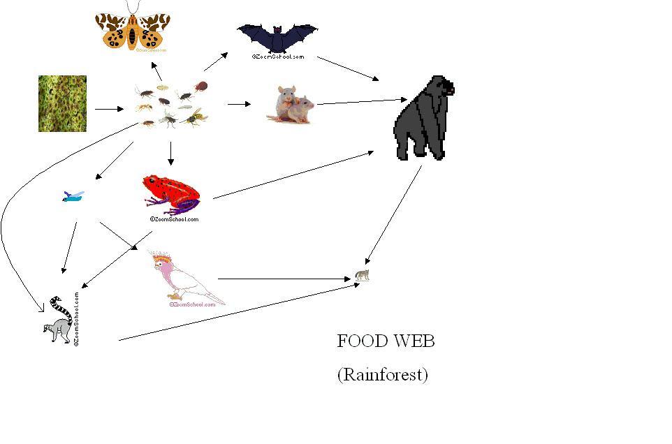 robetyy24: food web rainforest