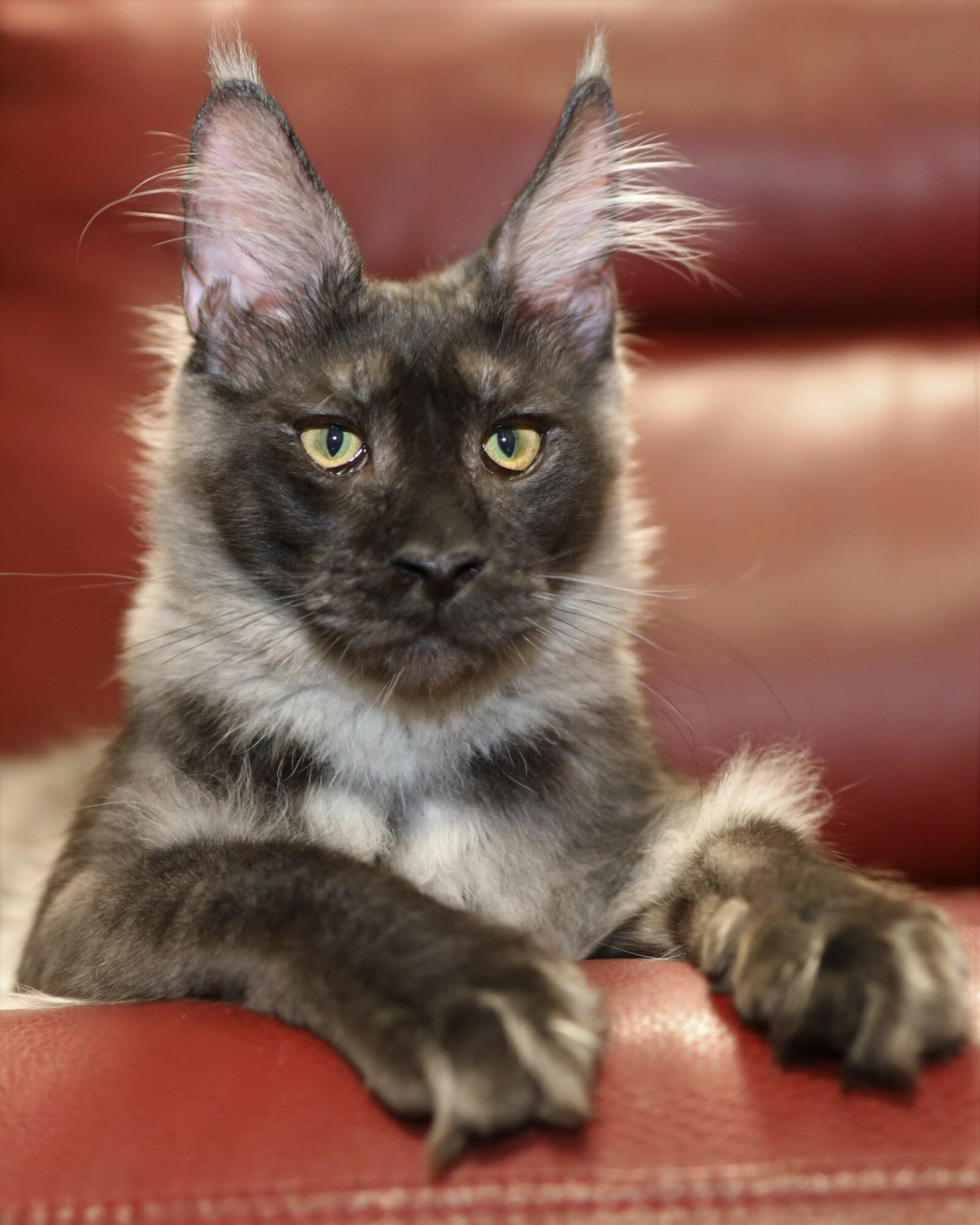 Maine Coon Cats For Sale In Iowa : maine, Maine, Kittens, Petfinder