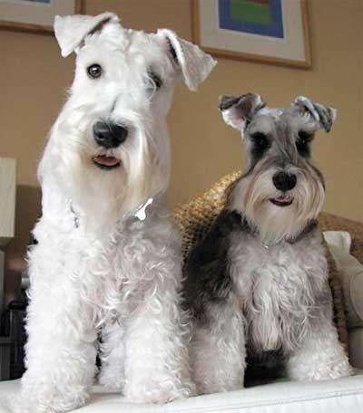 Gambar Anjing Mini  Gambar V