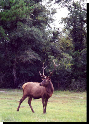 Moose Deer Hybrid : moose, hybrid, Moose, Hybrid