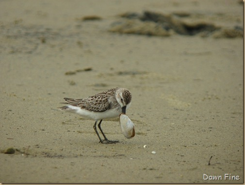 sandpiper with clam stuck_002