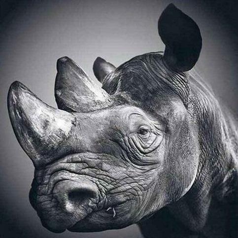 Desenho de rinoceronte feito à lápis