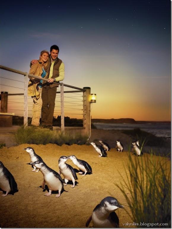 Penguin Parade Viewing 1