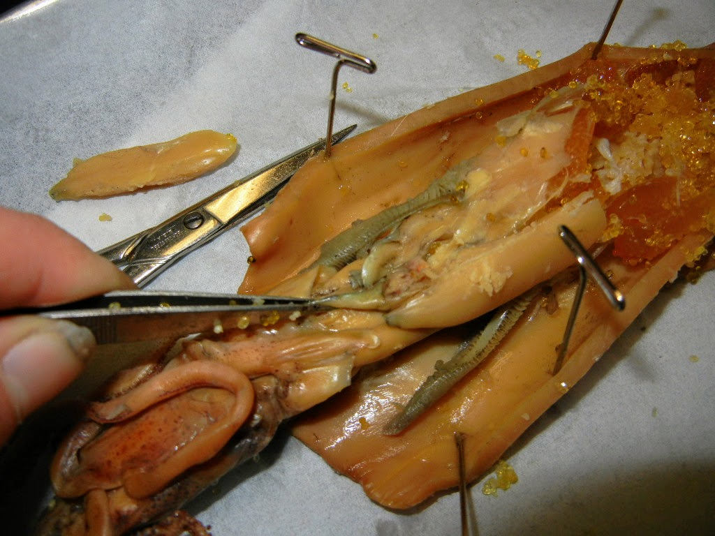 Squid Dissected