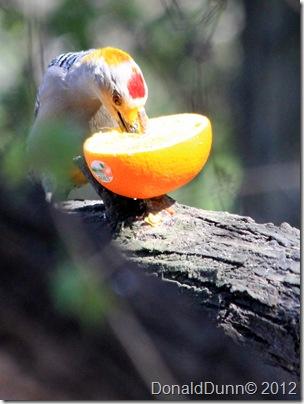 Golden-fronted woodpecker, Salineno, TX