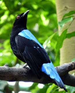 Cucak Rante Mp3 : cucak, rante, Suara, Burung, Cucak, Ranting