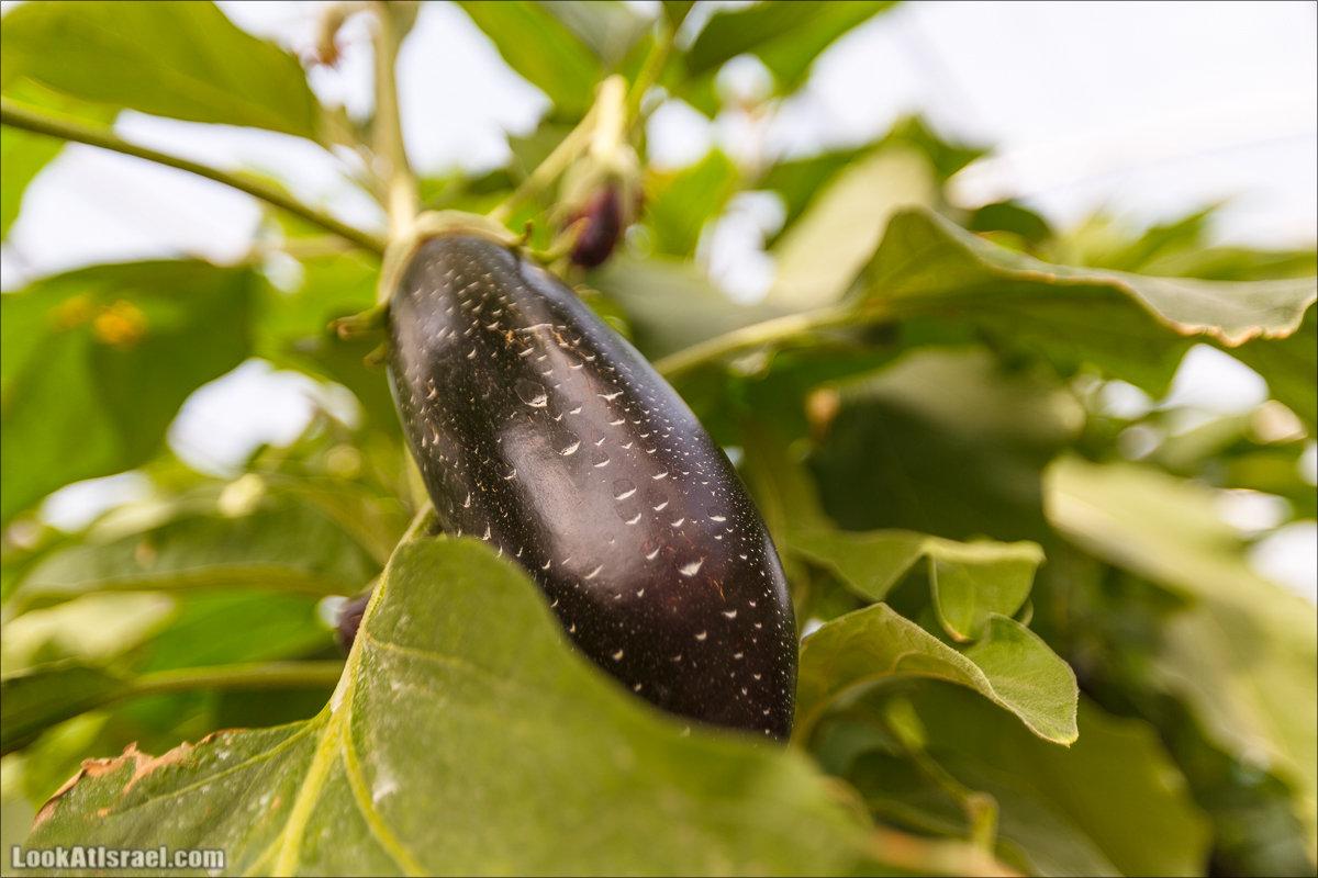 Сельскохозяйственная школа Хава бе-Эден   Hava be-Eden farm   LookAtIsrael.com - Фото путешествия по Израилю   חווה בעדן