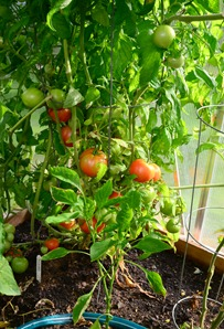 ripe tomatoes at Rocky Point