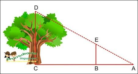 Menaksir Tinggi Pohon | GERAKAN PRAMUKA