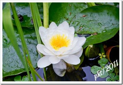 DSC_3293white-lily