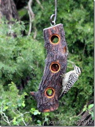 Ladder-backed woodpecker (Picoides scalaris), Bentsen RGV State Park, Mission, TX