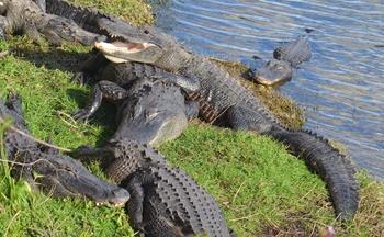 gators at Big Cypress Visitor Center