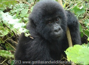 a juvenile mountain gorilla playing away in Volcanoes National Park, Rwanda