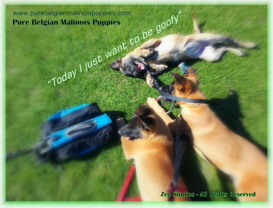 Akc Belgian Malinois Puppies For Sale Amp Adoption Texas