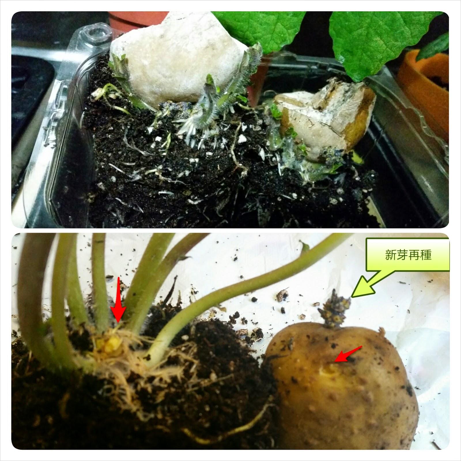 金美雜記: 薯仔種植