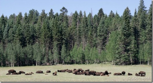 Bison hybrids in meadow Kaibab National Forest Arizona
