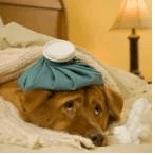cachorro resfriado