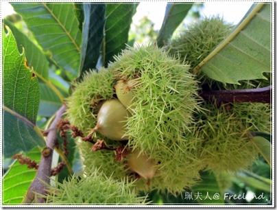 chestnut6
