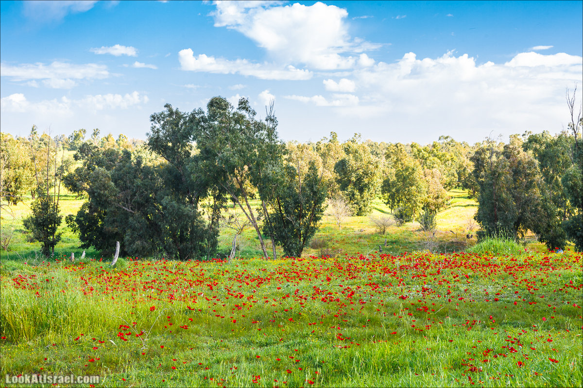 Анемоны (каланиет) пустыни Негев - Фестиваль Даром Адом в LookAtIsrael.com - Фото путешествия по Израилю | Red South festival of anemones in Negev | דרום אדום - קלניות בבארי