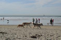 wolf dogs on the Dog Beach at Ocean Beach