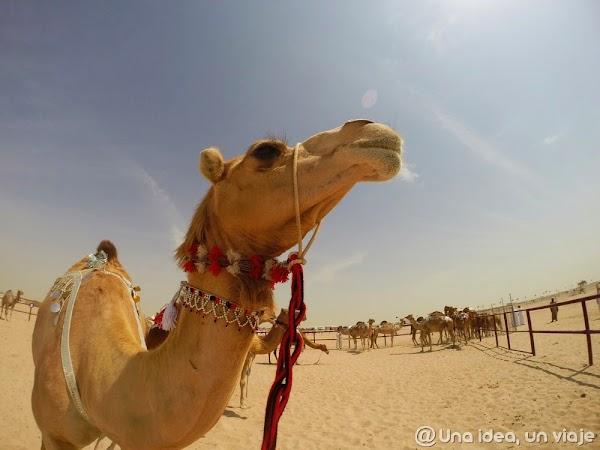 Qatar-Doha-Camellos-2.jpg