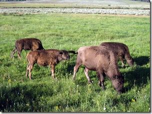 Bison calves were everywhere, Lamar Valley, Yellowstone NP