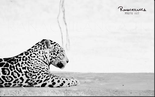 ranachilanga - jaguar yaguar zoo