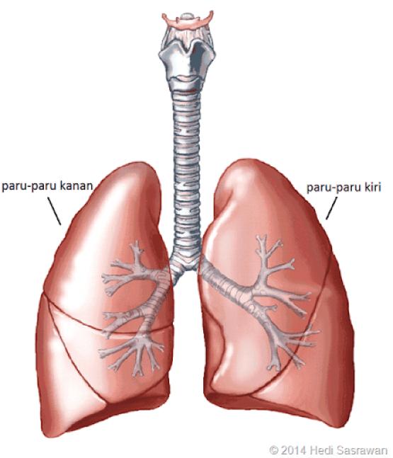 paru-paru manusia terdiri