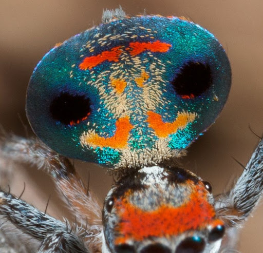 peacock-spider-3