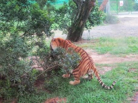 Tiger Munching Grass