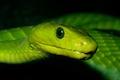 Green Mamba - élégant et toxique
