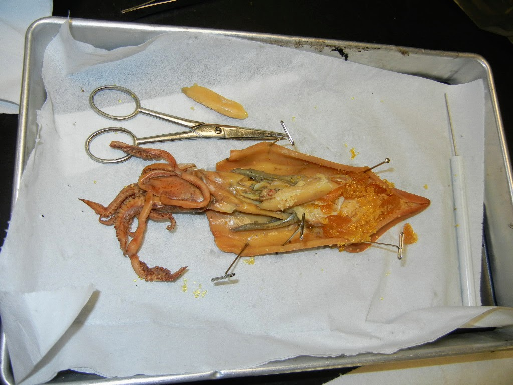 squid internal anatomy diagram ford taurus parts rat dissection frog elsavadorla