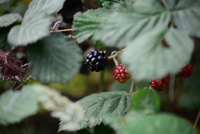 the black berries weren't very sweet yet