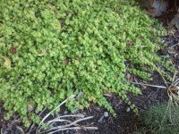 Magic carpet thyme | Project Noah