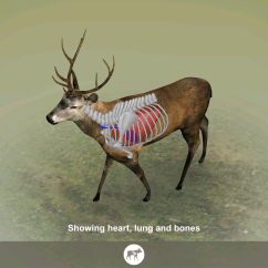 Whitetail Deer Vital Area Diagram The Glands In Neck And Throat Animal Vitals For Hunters Android Apps On Google Play
